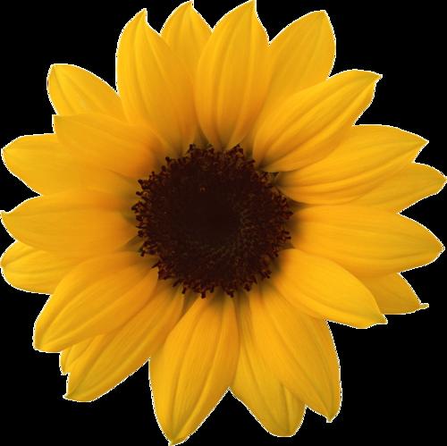 Sunflower Png Images Transparent Background: Tubes Fleurs Tournesol