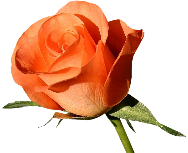Foto De Fleur Rose Rose Rouge Et Rose Vap Vap