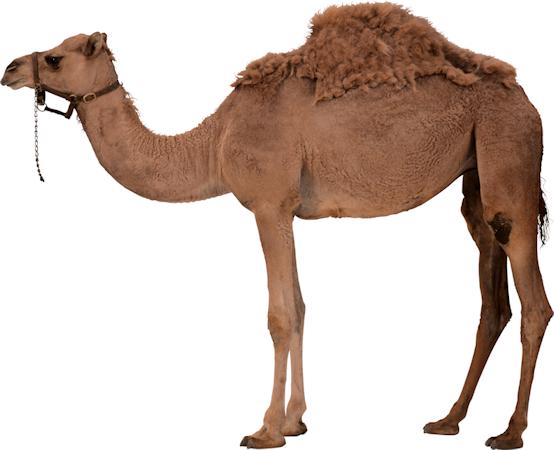 Tubes animauux chameaux dromadaire - Dessin dromadaire ...