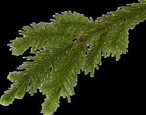 Дерево липа фото и описание растения какое у него