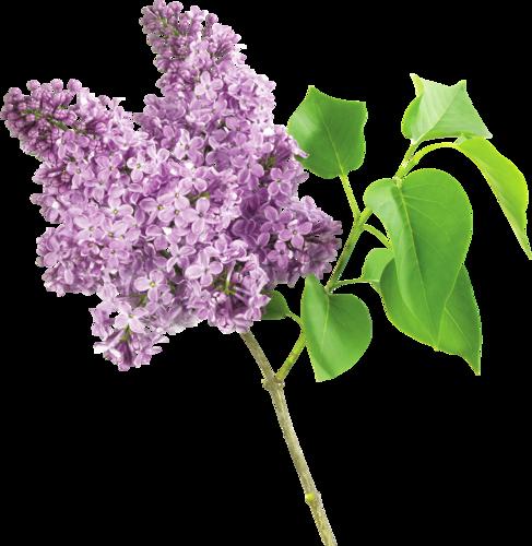 Fleurs lilas - Dessin de lilas ...