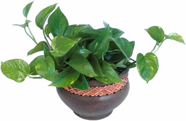 Plante verte exterieur en pot valdiz for Plante hivernale en pot