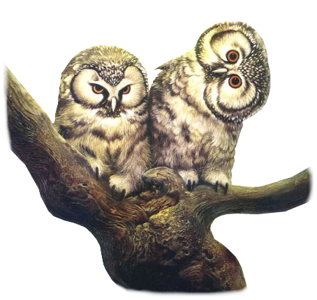 Animaux( chouette , hibou)