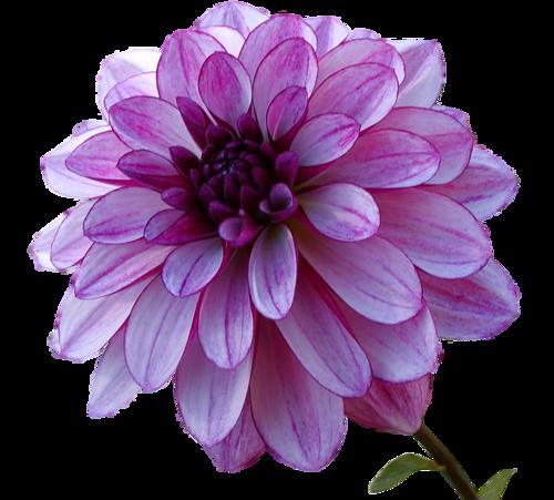tubes fleurs pivoine dahlia etc - page 2