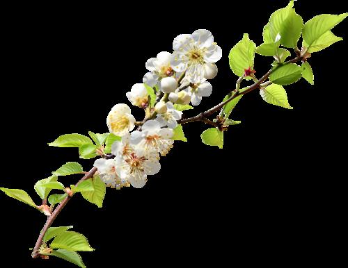 Цветы вишни рисунок 6