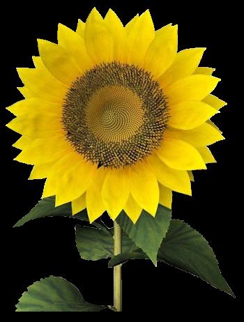 Tubes fleurs tournesol - Dessin de tournesol ...